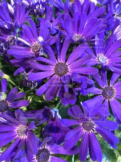 近くに紫の花の房のアップの写真・画像素材[1002045]