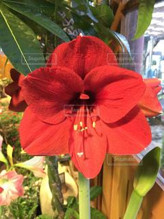 植物の赤い花の写真・画像素材[1002048]