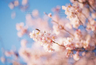 桜の写真・画像素材[413420]