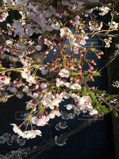 桜 - No.415967