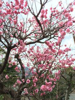 木の上のピンクの花の写真・画像素材[1031268]