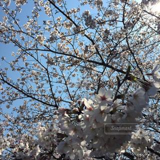 桜の写真・画像素材[413756]