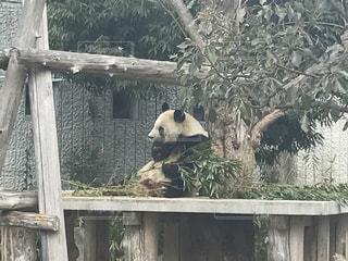 パンダの写真・画像素材[482046]