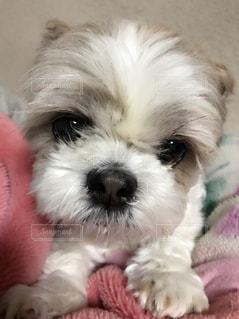 犬の写真・画像素材[426332]