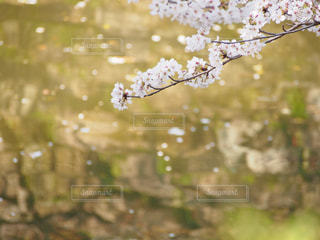 桜と水面の写真・画像素材[1568653]