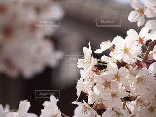 桜の木の写真・画像素材[1568654]
