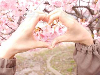 ハートの桜の写真・画像素材[2979378]