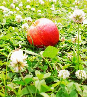 草の上のりんごの写真・画像素材[3266171]