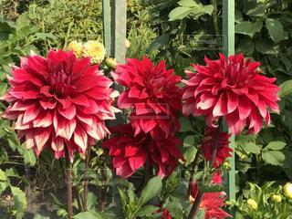 赤い花の写真・画像素材[754130]