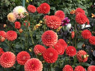 ピンクの花のグループの写真・画像素材[754134]