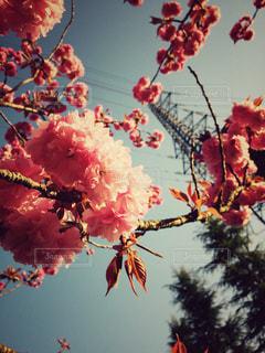 桜の写真・画像素材[418768]