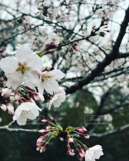 桜の写真・画像素材[415461]