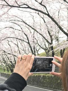 桜の写真・画像素材[419702]