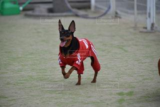 犬の写真・画像素材[448895]
