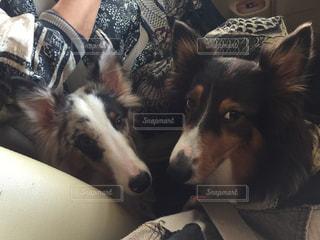 犬の写真・画像素材[416185]