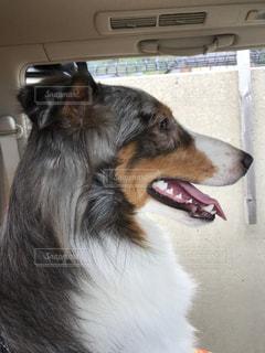 犬の横顔の写真・画像素材[1509706]