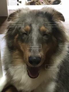 笑っているように見える犬の写真・画像素材[1509709]