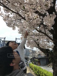 パパと一緒に花見の写真・画像素材[1098599]