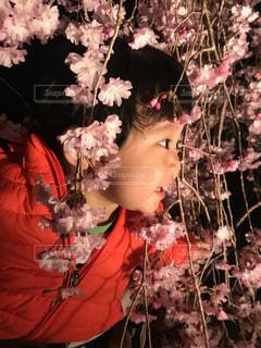 桜を覗き込む男の子の写真・画像素材[1098600]