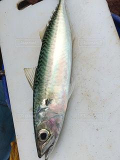 魚 - No.418467