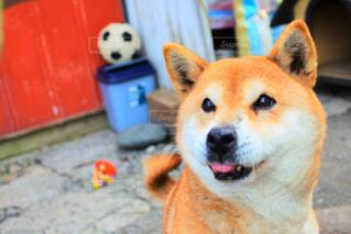 犬の写真・画像素材[434600]