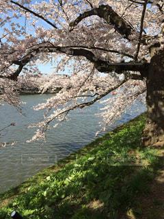 桜 - No.436895