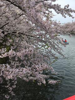桜 - No.455925