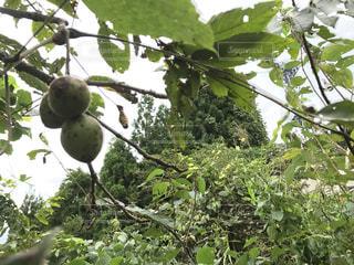 近くの木の枝にぶら下がっているクルミの写真・画像素材[808713]
