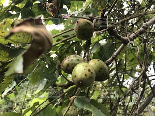 近くの木の枝にぶら下がっているクルミの写真・画像素材[808718]