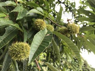 植物の栗の木の写真・画像素材[1463422]