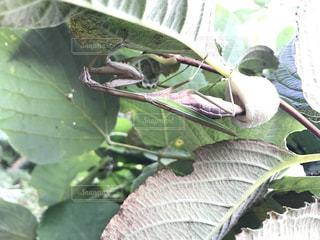 近くの木のカマキリの卵の写真・画像素材[1483590]