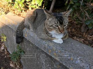ねこ 猫 ネコ - No.420937