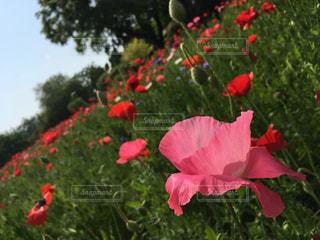 植物の赤い花の写真・画像素材[1160424]