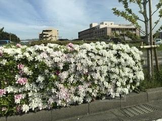 つつじの花の写真・画像素材[1164758]