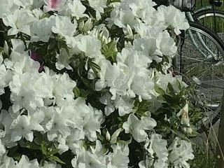 つつじの花のアップの写真・画像素材[1164759]