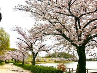 桜の写真・画像素材[431987]