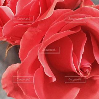 花の写真・画像素材[420546]