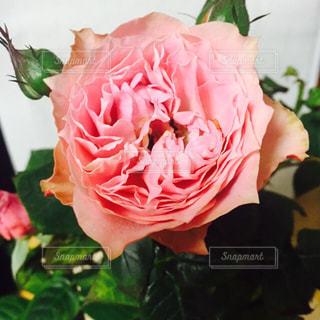 花の写真・画像素材[420742]