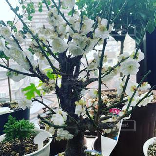 桜の盆栽の写真・画像素材[1803511]