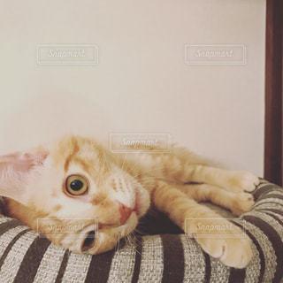 猫の写真・画像素材[424445]