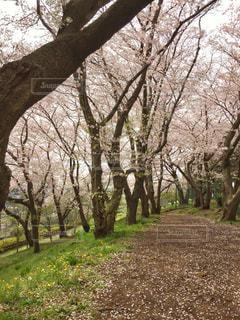 桜並木の写真・画像素材[1010271]
