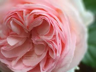 花の写真・画像素材[511242]