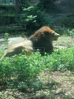 ライオンの写真・画像素材[2416277]