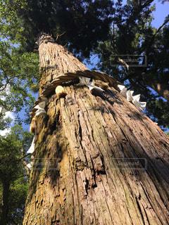 巨木の写真・画像素材[422690]