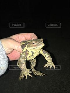 カエルの写真・画像素材[422963]