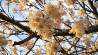 桜の写真・画像素材[424994]