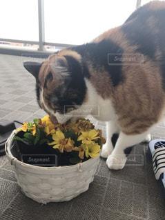猫の写真・画像素材[428787]