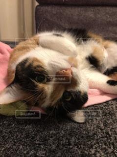 猫の写真・画像素材[428789]