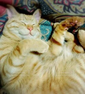 猫の写真・画像素材[441757]