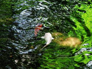 鯉の写真・画像素材[2335368]